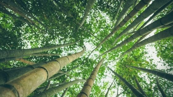 You are currently viewing How Fast Does Bamboo Grow