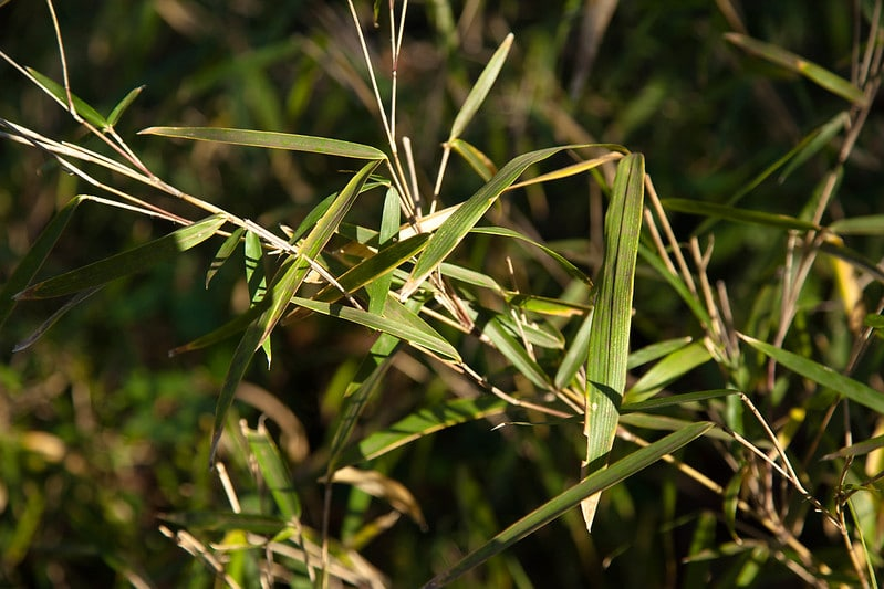 The 3 Native Bamboo Species of North America