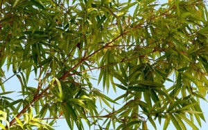 Can You Grow Bamboo in Florida? Tips for control, the law