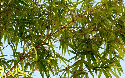 Can You Grow Bamboo In Florida Tips For Control The Law The