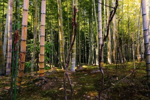 Reasons Why Bamboo Is a Grass Not a Tree