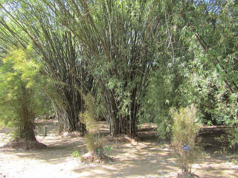 Pros and cons of growing bamboo