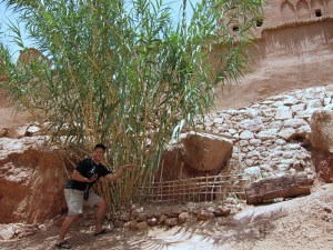 Desert Bamboo. Best species, care, where to get