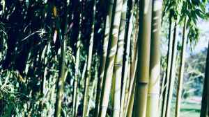 Can You Grow Bamboo in Ohio?
