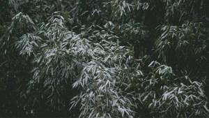 Wisconsin – Grow Cold Hardy Bamboo