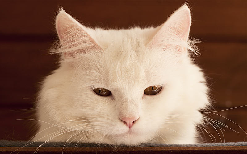 White Cat Names  Top 100 Best Names For White Cats
