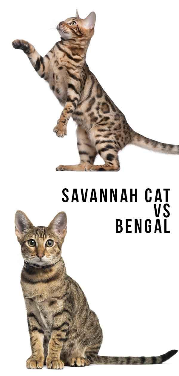 Savannah Cat Size Chart : savannah, chart, Savannah, Comparison