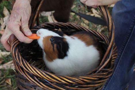 guinea-pig-happy