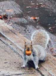 squirrel_montreal_