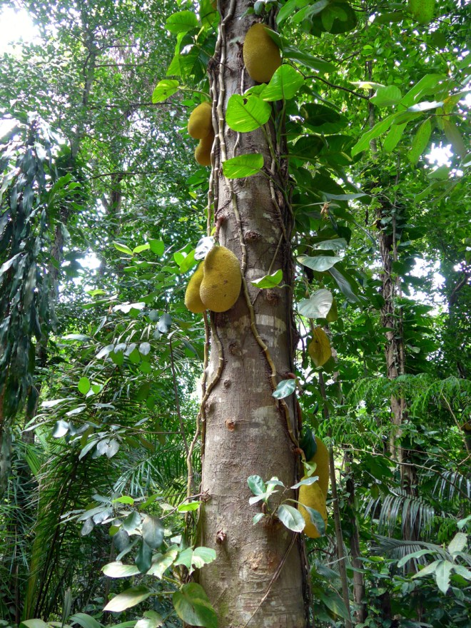 Botanical Garden Rio de Janeiro - Jardim Botanico do RIo de Janeiro - Jack fruit tree