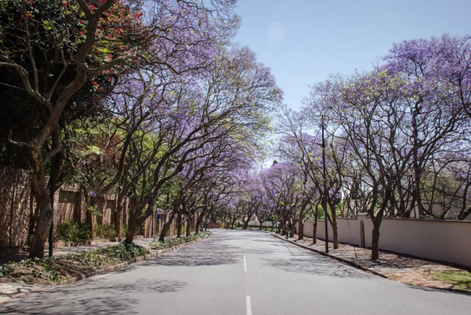 Jacaranda Trees flowering - Kensington, Johannesburg, South Africa