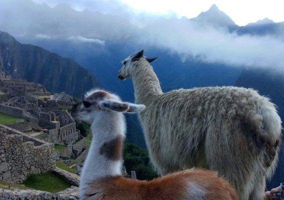 two llamas at machu picchu