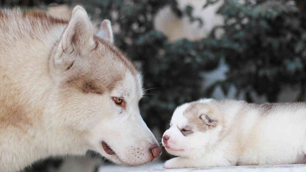 Cute Husky Puppies With Blue Eyes Wallpaper The Siberian Husky Dog Breed Information Center