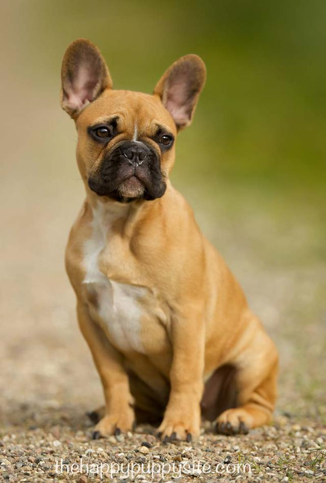 french bulldog: a complete guide - the happy puppy site