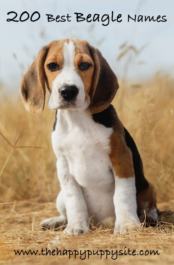 Beagle Names - 200 Great Ideas Naming