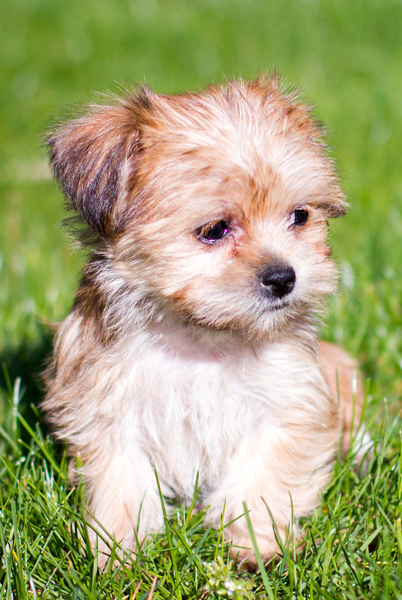PuppyFind | Yorkiepoo Puppies for Sale