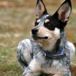 Blue Heeler Names 200 Brilliant Ideas For Australian Cattle Dog Puppies