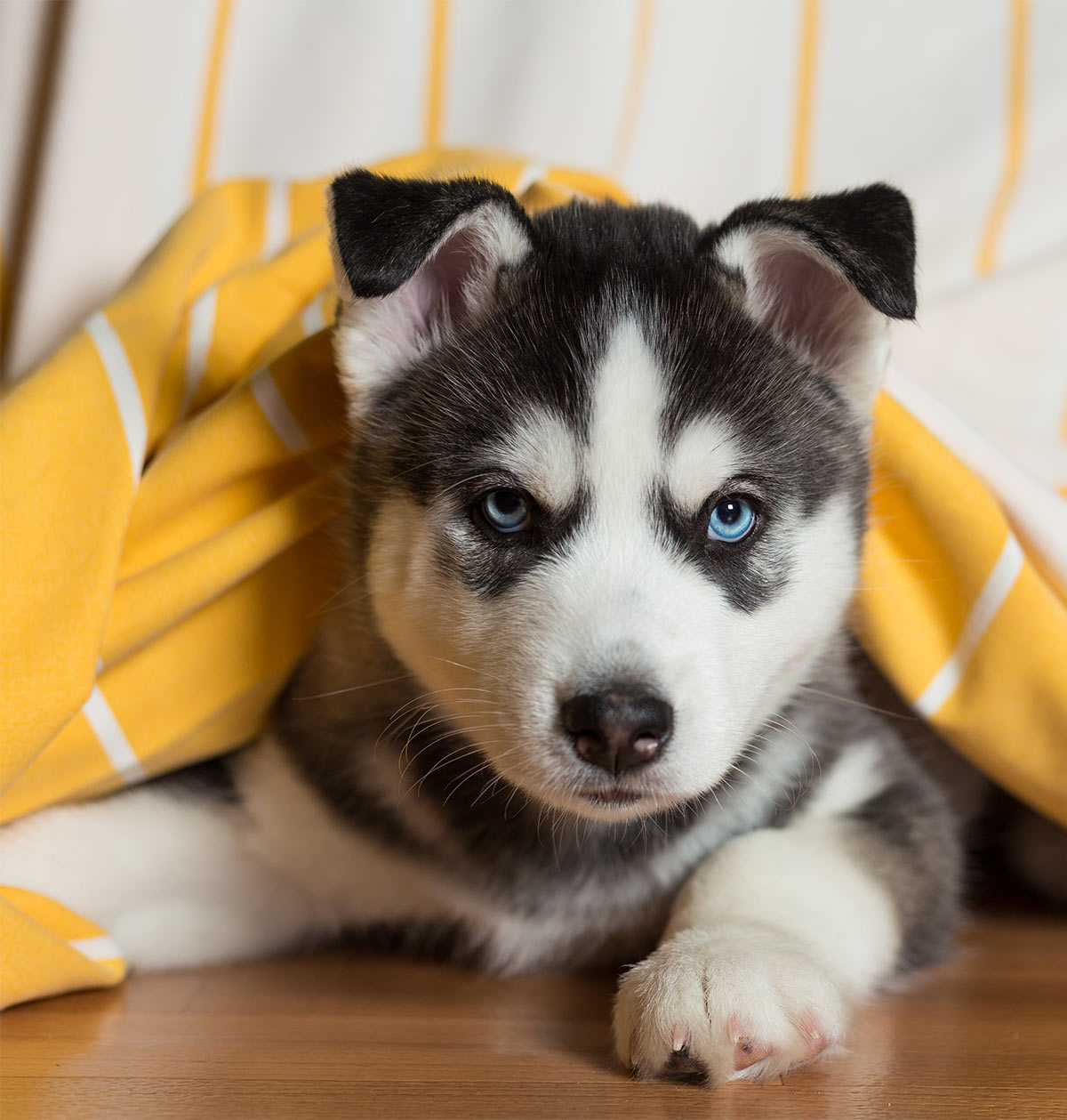 pictures of huskies an