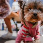 Yorkie Clothes Find The Perfect Sweater Or Costume For Your Yorkie Dog