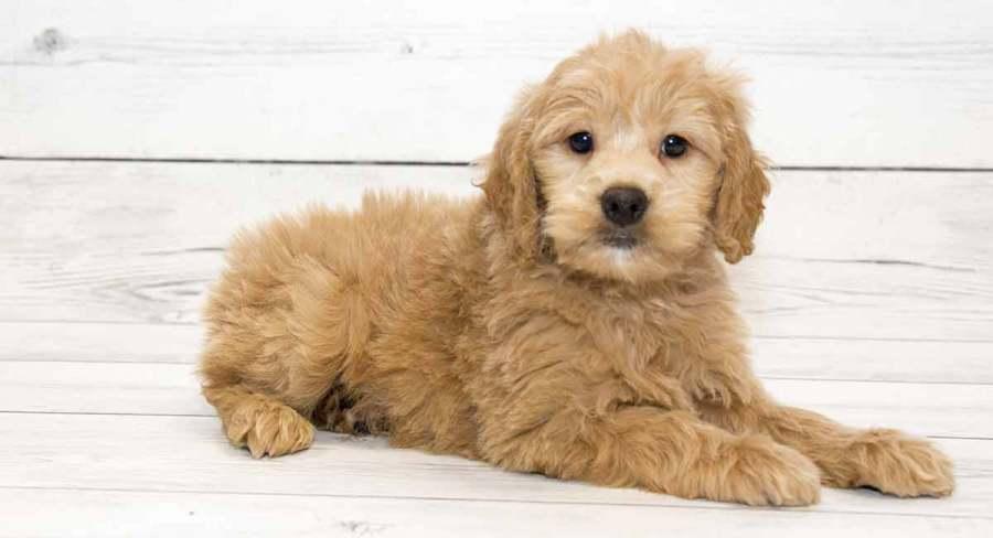 Một chú Poodle lai chó Golden