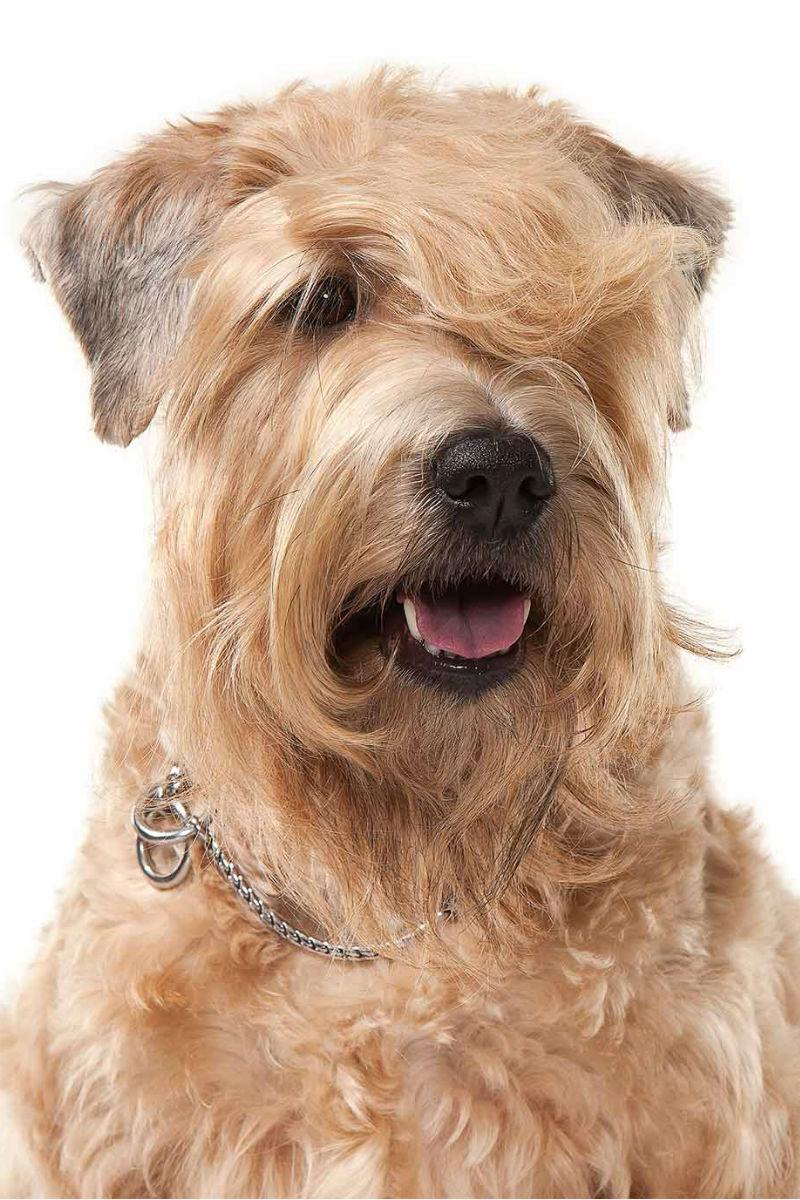 Soft Coated Wheaten Terrier Haircut : coated, wheaten, terrier, haircut, Wheaten, Terrier, Breed, Information:, Coated