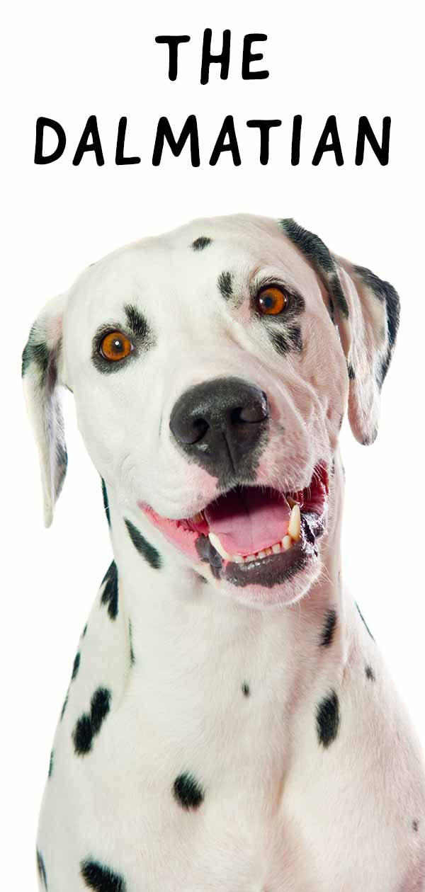 Dalmatian: Your Complete Guide To A Strikingly Beautiful Breed