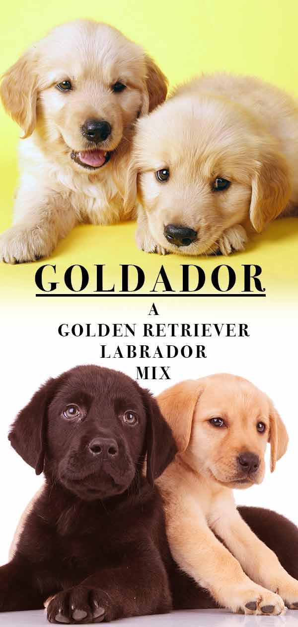 Labrador Mix Puppies For Sale Near Me : labrador, puppies, Golden, Retriever, Puppies, Petfinder