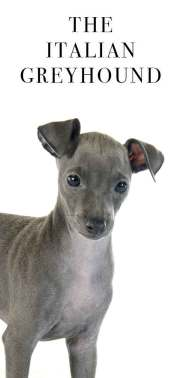 italian greyhound darling
