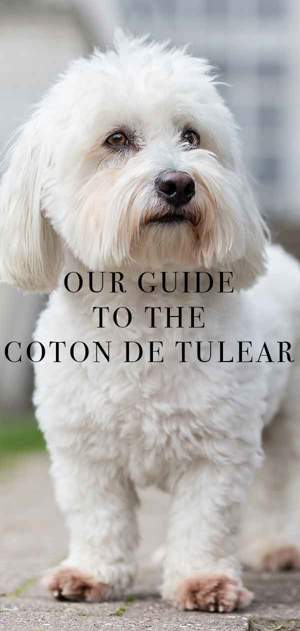 Coton De Tulear Rescue : coton, tulear, rescue, Coton, Tulear, Complete, Guide, Rather, Regal, Breed