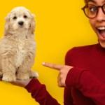 Mini Goldendoodle Mix Breed Information Golden Retriever Poodle Mix