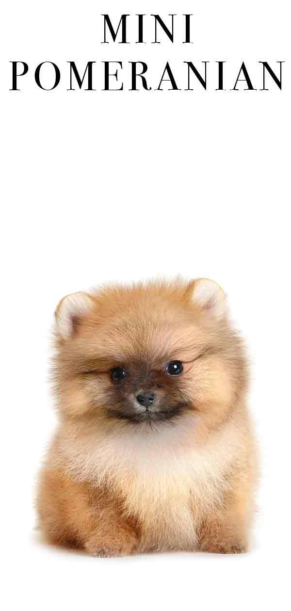 Mini Pom Dog : Pomeranian, Would, Version, These, Playful, Pups?