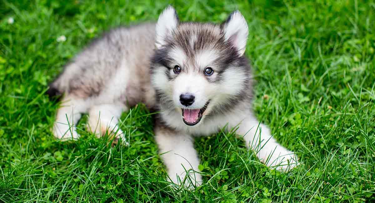 miniature husky is this