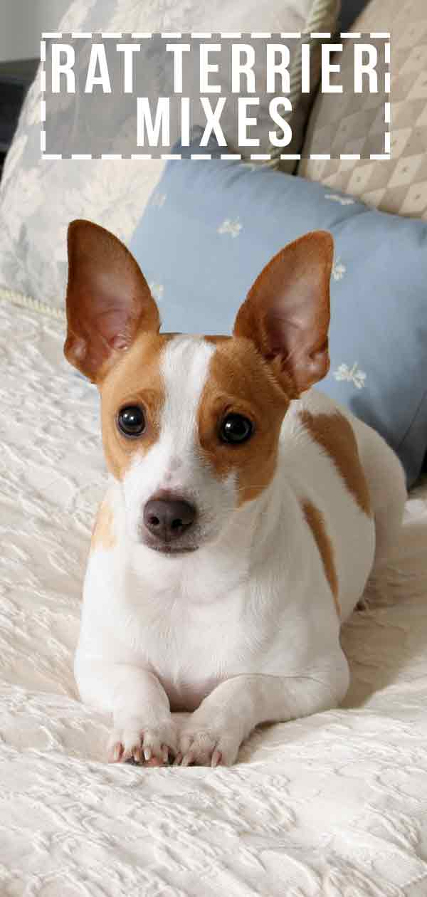 Toy Rat Terriers For Sale : terriers, Terrier, Mixes, Variety