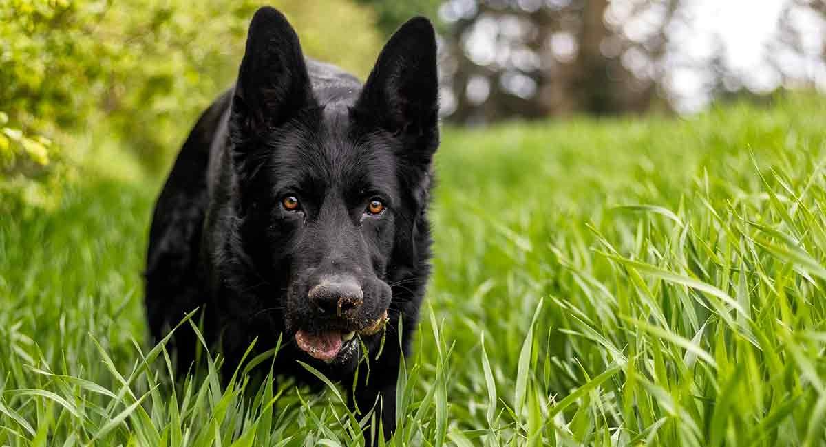black german shepherd dogs