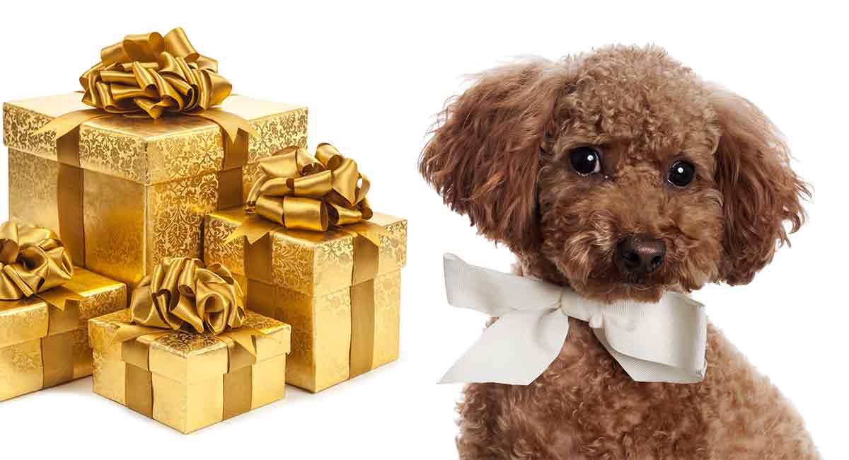 poodle gifts the best