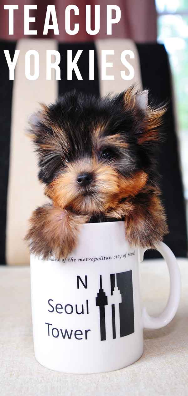 Teacup Puppies For Sale Missouri : teacup, puppies, missouri, Teacup, Yorkie, Guide, World's, Smallest