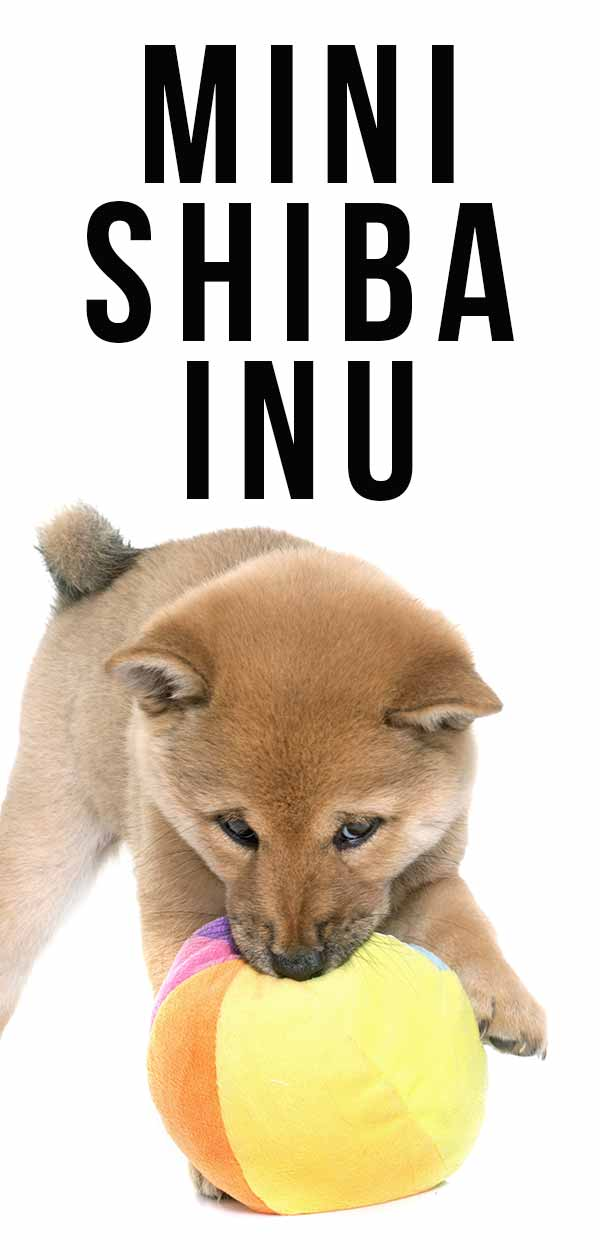 Mini Shiba Inu For Sale : shiba, Shiba, Version, Adorable, Spitz