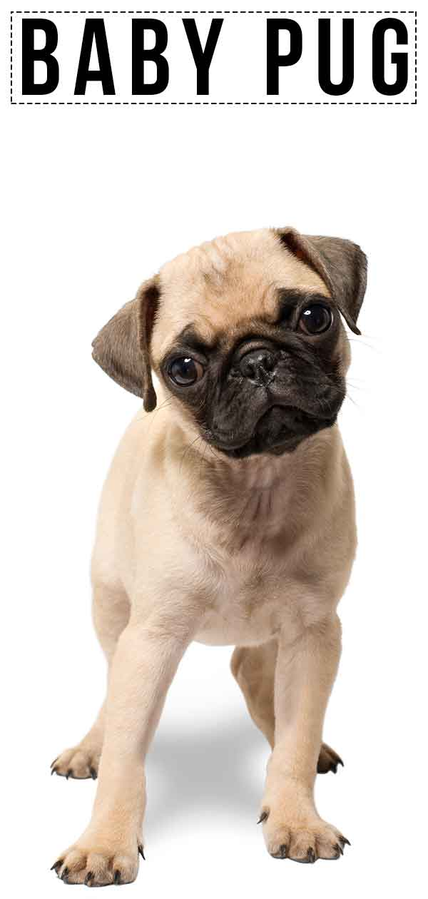 Tiny Baby Pugs : Guide, Develop