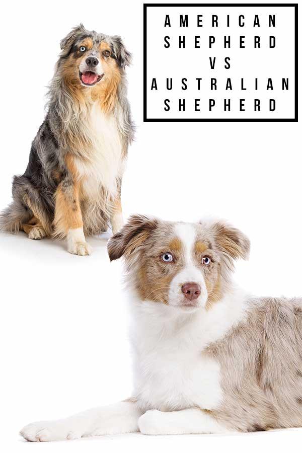 Toy Aussie Vs Mini Aussie : aussie, American, Shepherd, Australian, Little, Large?