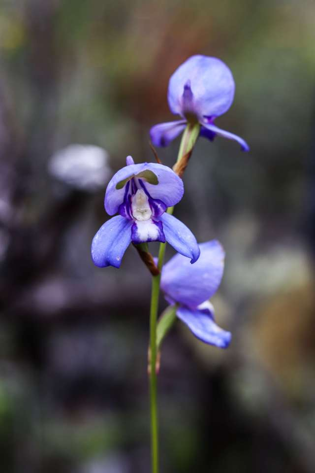 Blue Disa Table Mountain