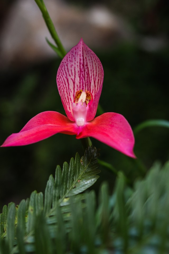 Red Disa Myburgh's Waterfall Ravine