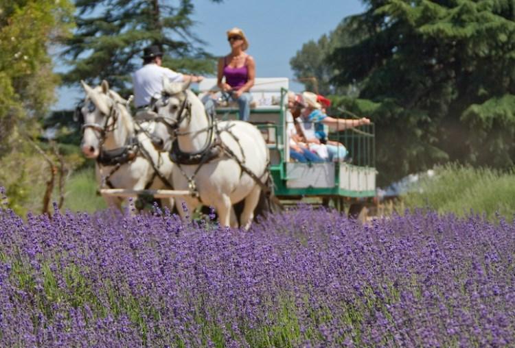 Lavendar-Festival-Beaumont-California