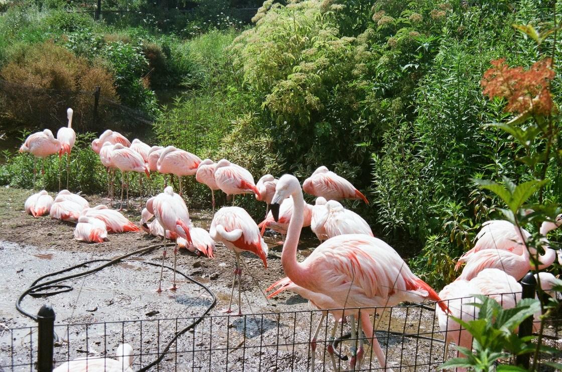 pink flamingos at the Lincoln park zoo