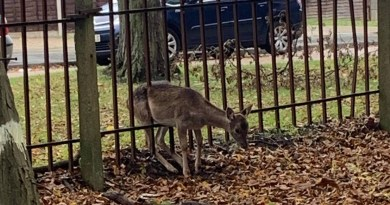 VIDEO: Deer caught in metal railings rescued.