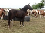 """One of the Island's Stallions """"Ace"""" Ace's Black Tie Affair"""""""