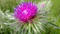 Musk Thistle