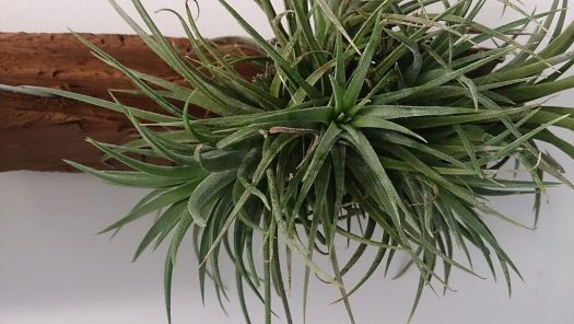 airplant cat-friendly houseplant