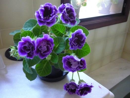 gloxinia houseplant image purple flowers