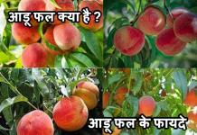आडू फल क्या है| आडू फल के फायदे| Aadu fruit Khane Ke Fayade