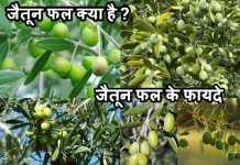 जैतून फल क्या है| जैतून फल के फायदे| Olive Fruit Khane Ke Fayade
